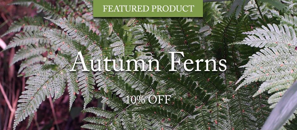 Autumn-Ferns