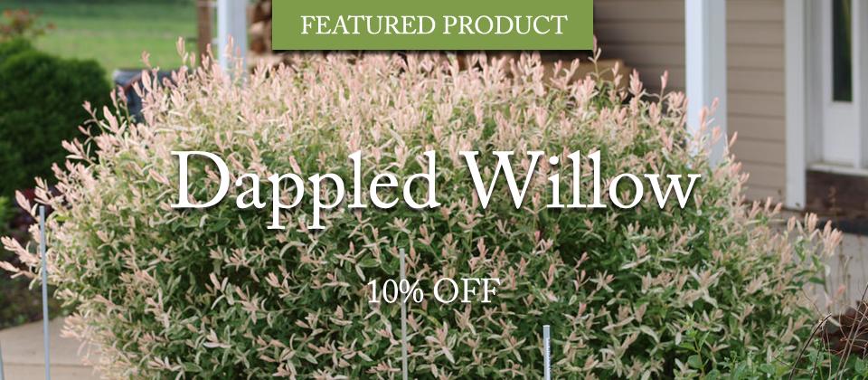 dappled-willow