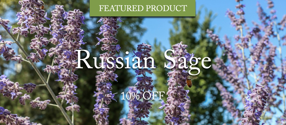 russian-sage