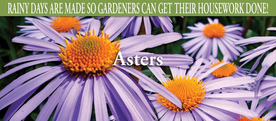 wk38-asters