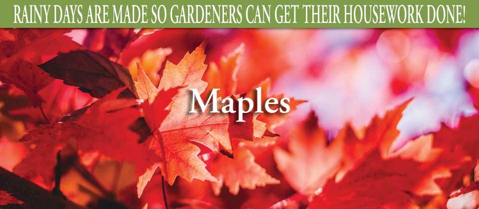 wk38-maples