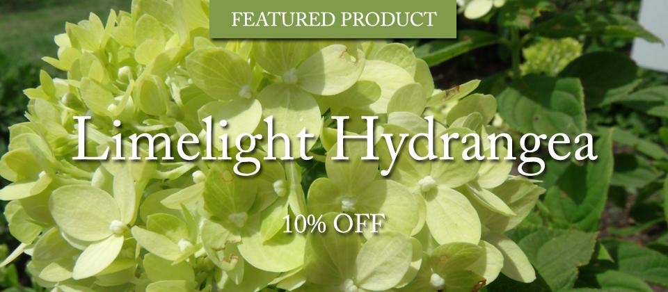 limelight-hydrangea