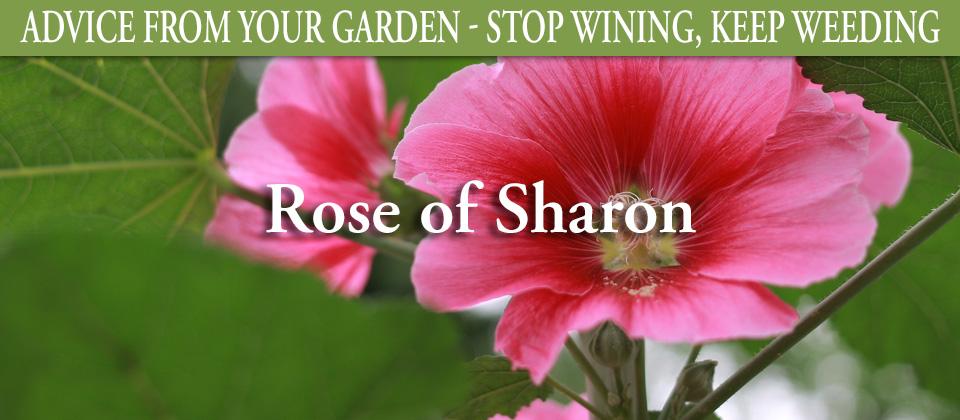 8.12_Rose-of-Sharon