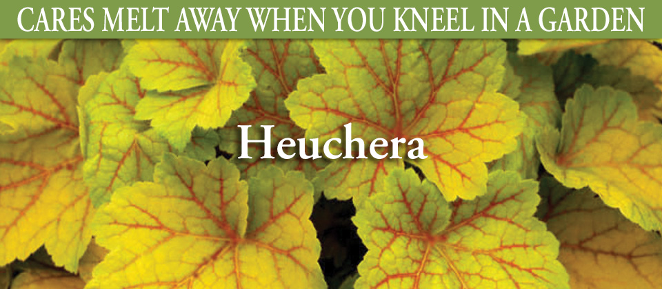 6.30_Heuchera