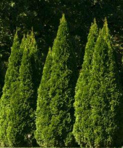 Hedge Evergreens